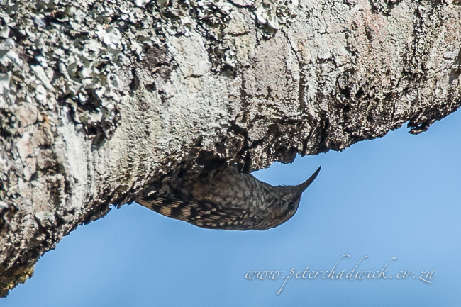 Spotted Creeper by wildlife and conservation photographer Peter Chadwick