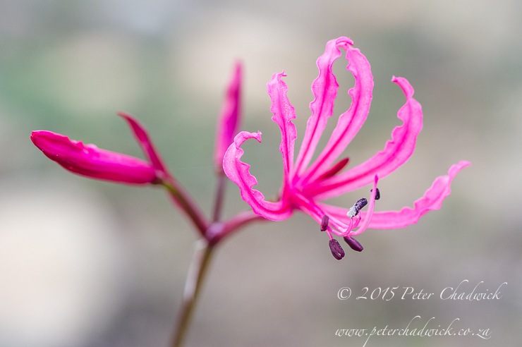 Nerine Flower_PeterChadwick_AfricanConservationPhotographer