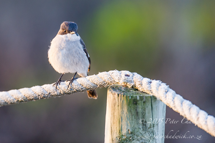 Fiscal Flycatcher_PeterChadwick_AfricanConservationPhotographer