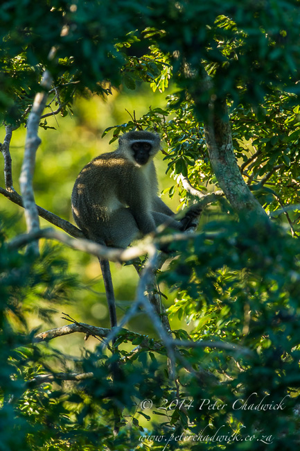 Vervet monkey in the trees by wildlife and conservation photographer Peter Chadwick