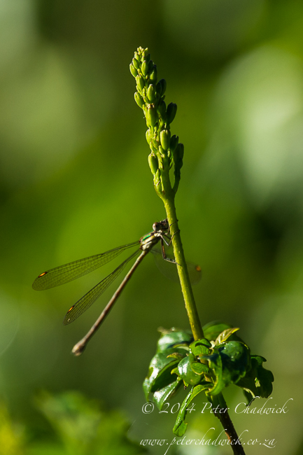 Damselfly in the forest canopy by wildlife and conservation photographer Peter Chadwick