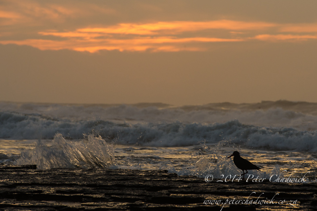 African Black Oystercatcher on Dwesa coast by wildlife and conservation photographer Peter Chadwick