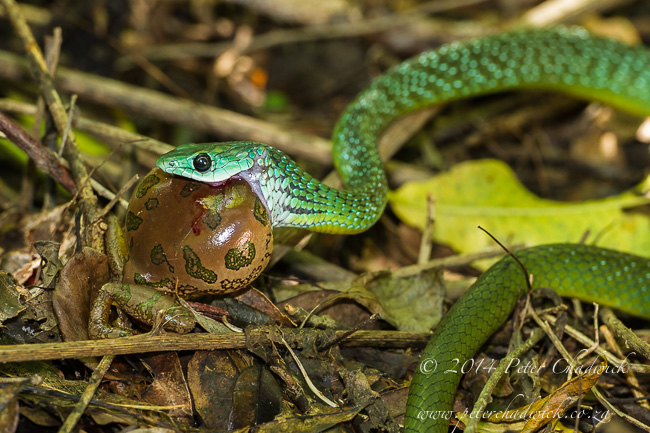 Feeding Western Green Snake by wildlife and conservation photographer Peter Chadwick