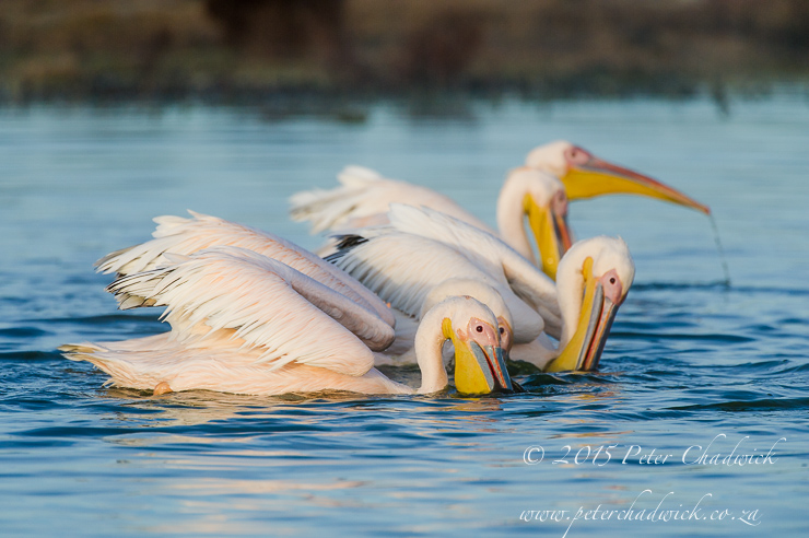 Great White Pelicans_PeterChadwick_AfricanConservationPhotographer