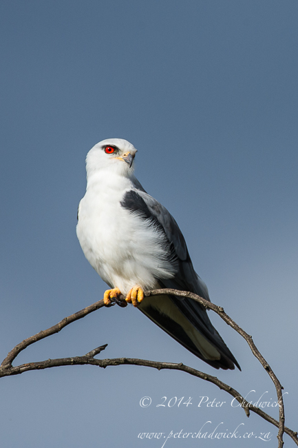 Black-shouldered kite by wildlife and conservation photographer Peter Chadwick