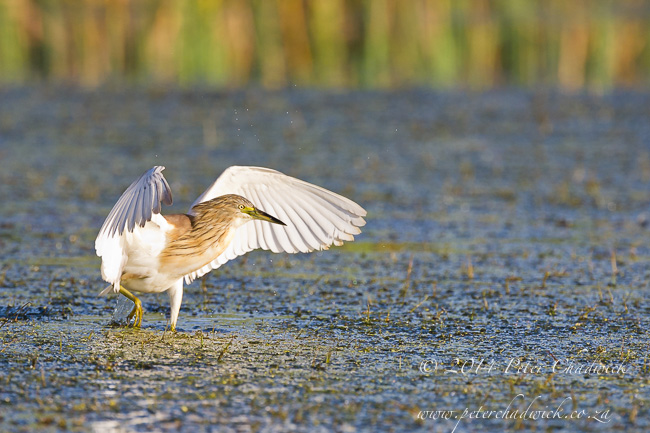 Squacco heron hunting by wildlife and conservation photographer Peter Chadwick