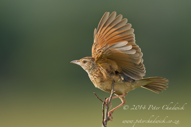 rufous-naped lark by wildlife and conservation photographer Peter Chadwick