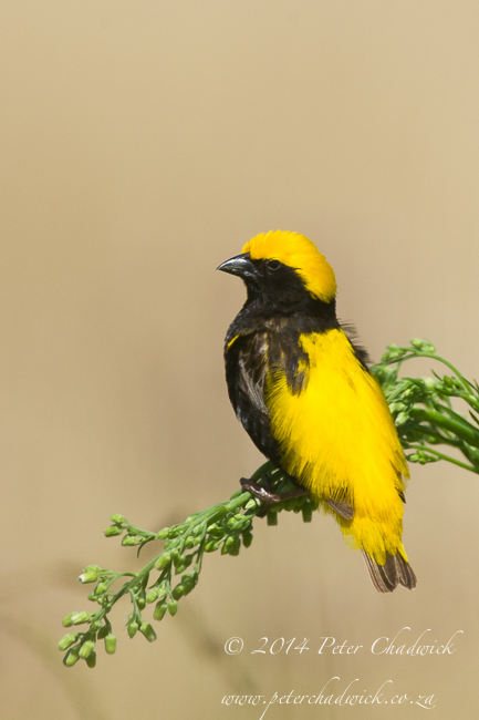 Yellow- cwoned bishop by wildlife and conservation photographer Peter Chadwick