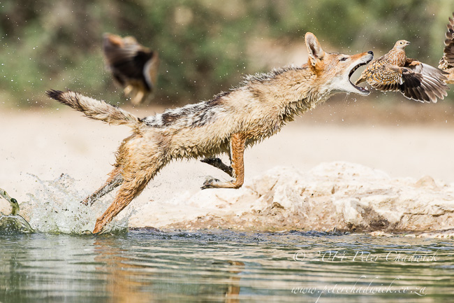 Black-Backed Jackal Hunting Sandgrouse sequence by wildlife and conservation photographer Peter Chadwick 8