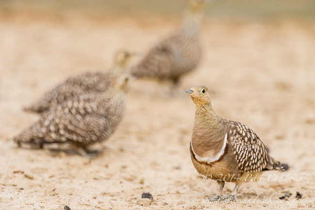 Namaqua Sandgrouse at Cubitjie Quap waterhole by wildife and conservation photographer Peter Chadwick