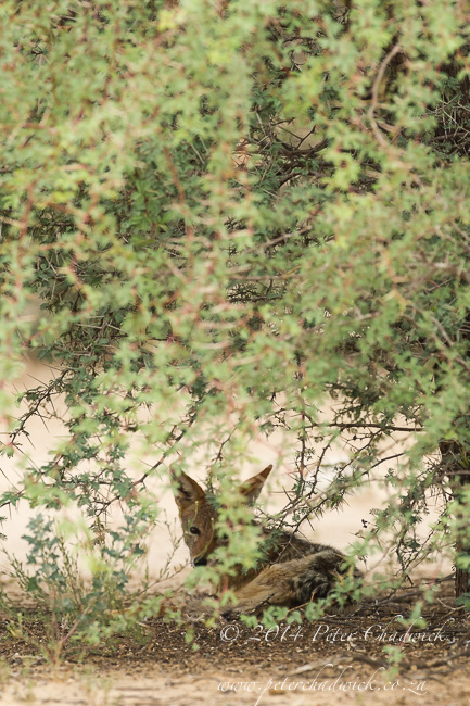 Black-Backed Jackal Hunting Sandgrouse sequence by wildlife and conservation photographer Peter Chadwick 2