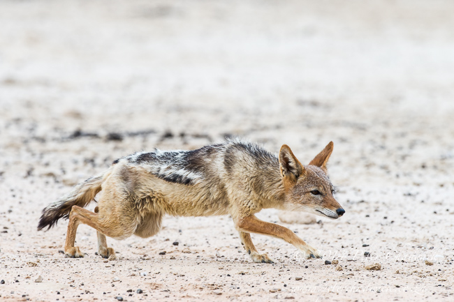 Black-Backed Jackal Hunting Sandgrouse sequence by wildlife and conservation photographer Peter Chadwick 3