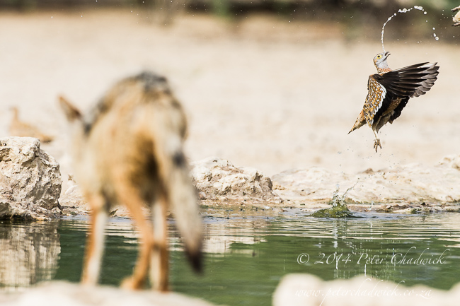 Black-Backed Jackal Hunting Sandgrouse sequence by wildlife and conservation photographer Peter Chadwick 4