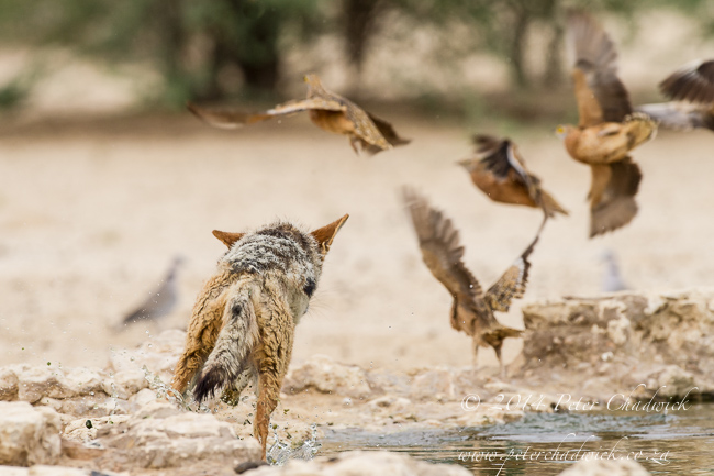Black-Backed Jackal Hunting Sandgrouse sequence by wildlife and conservation photographer Peter Chadwick 5