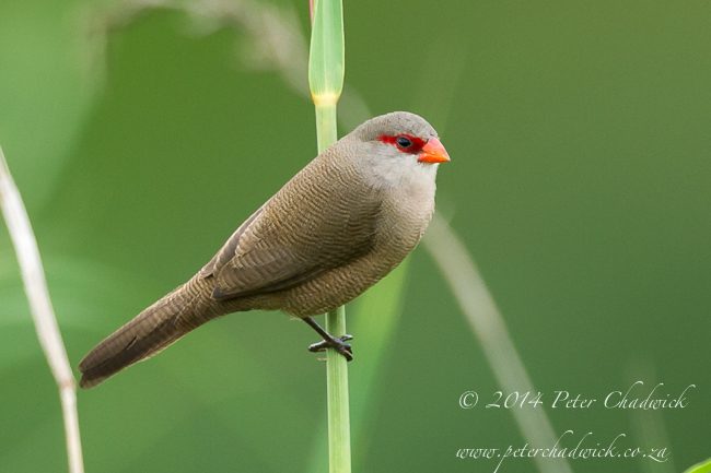 Comon Waxbill by wildlife and conservation photographer Peter Chadwick