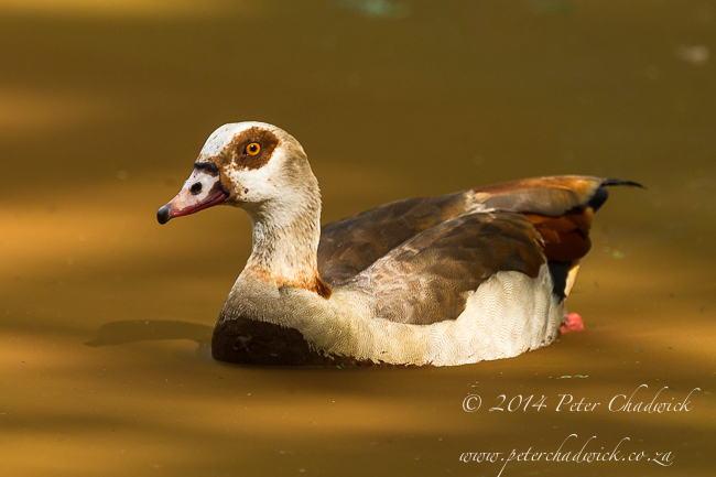 Egyptian Goose by wildlife and conservation photographer Peter Chadwick