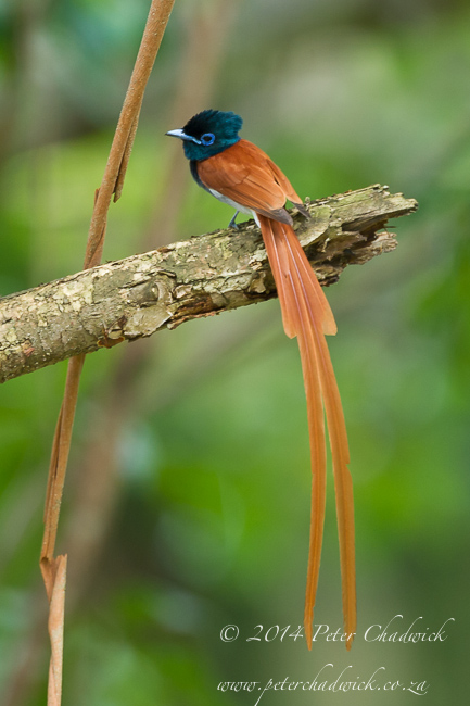 African Paradise Flycatcher by wildlife and conservation photographer Peter Chadwick