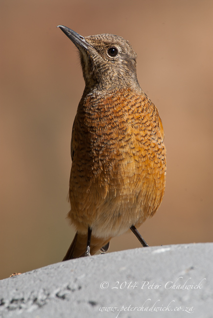 Female cape rock thrush by wildlife and conservation photographer Peter Chadwick