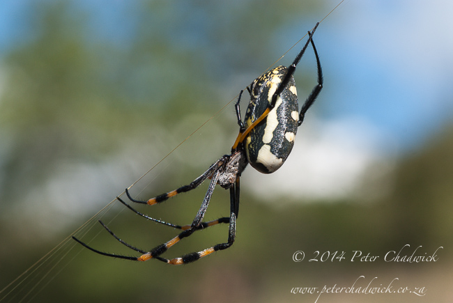 Female golden orb spider by wildlife and conservation photographer Peter Chadwick