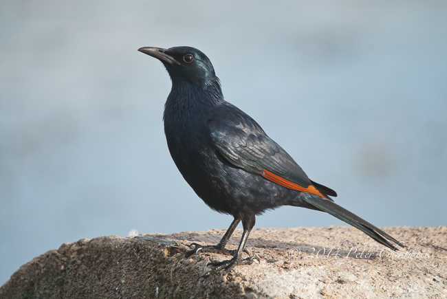 Red winged Starling by wildlife and conservation photographer Peter Chadwick