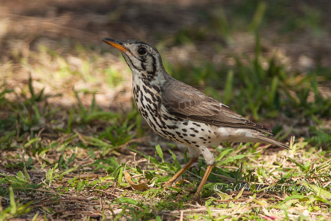 Groundscraper Thrush by wildlife and conservation photographer Peter Chadwick