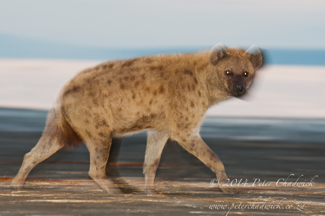 Spotted Hyena at dawn by wildlife and conservation photographer Peter Chadwick