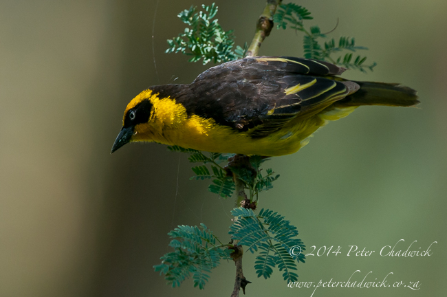 baglafecht weaver by wildlife and conservation photographer Peter Chadwick