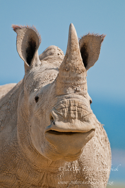 Yawning white rhino by wildlife and conservation photographer Peter Chadwick