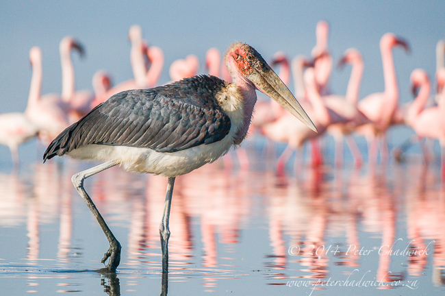 Marabou Stork on Lake Nakuru by wildlife and conservation photographer Peter Chadwick