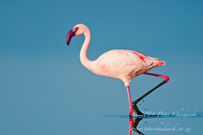 Lesser Flamingo in Lake Nakuru by wildlife and conservation photographer Peter Chadwick