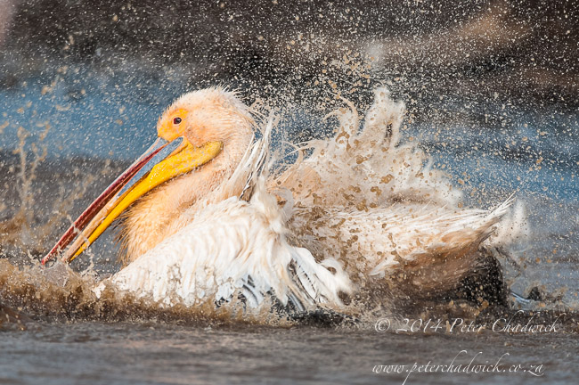 Great white pelican bathing by wildlife and conservation photographer Peter Chadwick