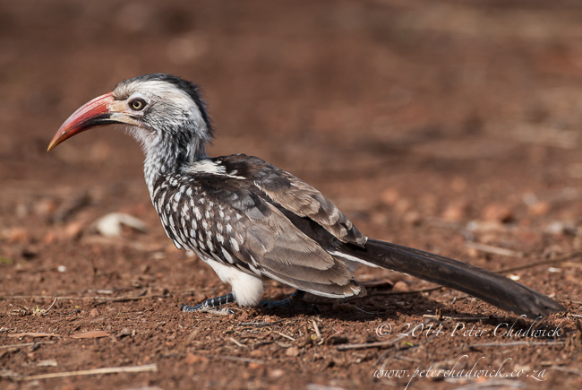 Southern Red-Billed Hornbill by wildlife and conservation photographer Peter Chadwick