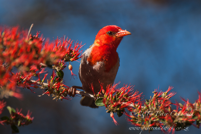 male red-headed weaver by wildlife and conservation photographer Peter Chadwick