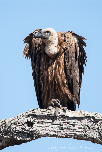 White backed vulture by wildlife and conservation photographer Peter Chadwick