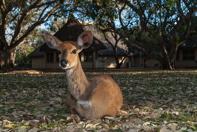 Bushbuck in Letaba camp by wildlife and conservation photographer Peter Chadwick