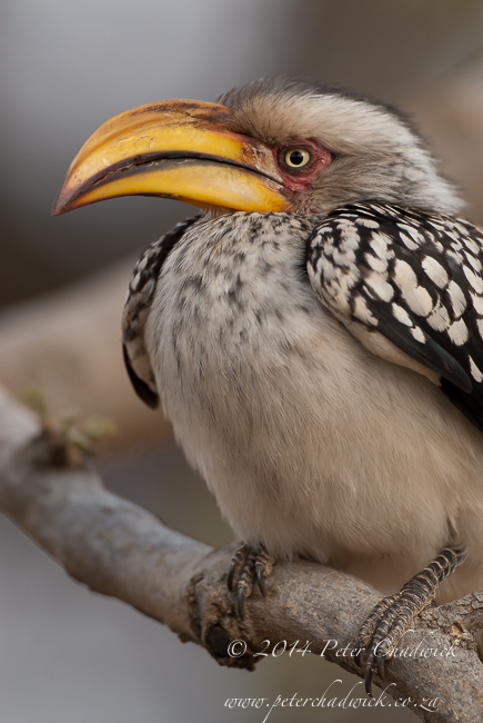 Yellow-billed Hornbill by wildlife and conservation photographer Peter Chadwick