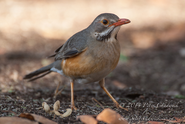 Kurrichane Thrush by wildlife and conservation photographer Peter Chadwick