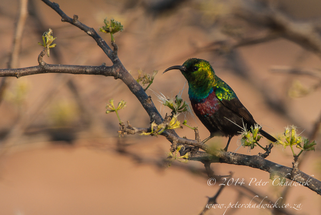 Marico sunbird by wildlife and conservation photographer Peter Chadwick