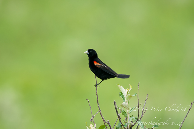 Fan Tailed Widow Bird