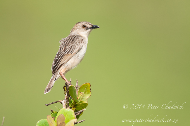 Croaking cisticola by wildlife and conservation photographer Peter Chadwick