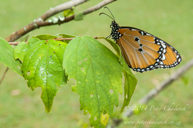 African Monarch butterfly by wildlife and conservation photographer Peter Chadwick