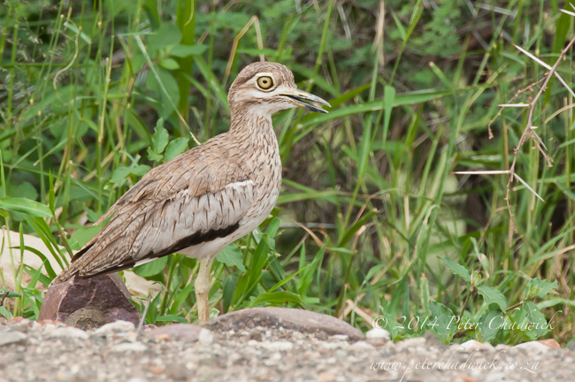 Spotted Thick-Knee by wildlife and conservation photographer Peter Chadwick