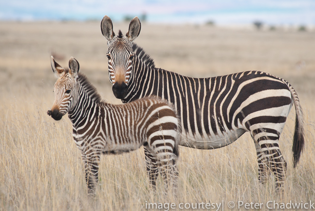 cape mountain zebra mother with foal with sacroid virus by wildlife and conservation photographer peter chadwick