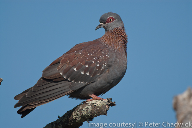 speckled pigeon on perch by wildlife and conservation photographer peter chadwick
