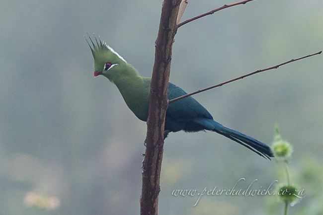 Livingstones Turaco by wildlife and conservation photrographer Peter Chadwick