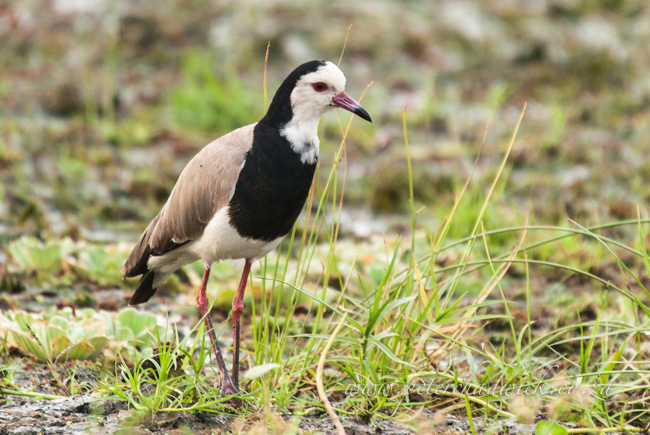 long toed plover by wildlife and conservation photrographer Peter Chadwick