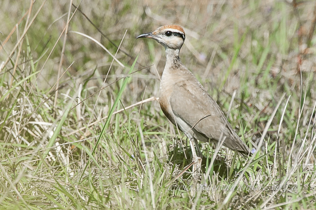 Temmincks Courser by wildlife and conservation photographer Peter Chadwick