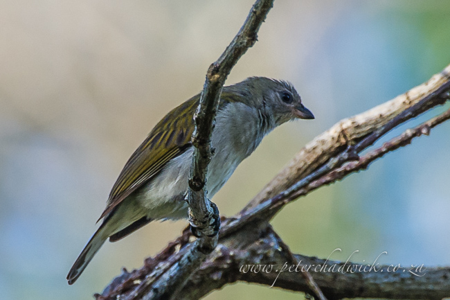 Pallid Honeyguide by wildlife and conservation photographer Peter Chadwick