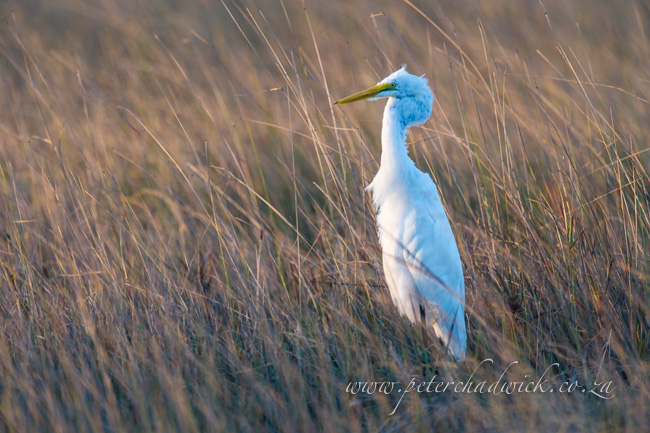 Great White Egret by wildlife and conservation photographer Peter Chadwick