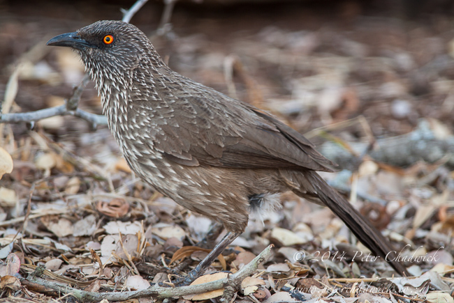 arrow marked babbler by wildlife and conservation photographer Peter Chadwick